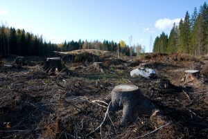 Kahlschlag (Clearcutting) in Finnland (Foto: Wikipedia/Tero Laakso)